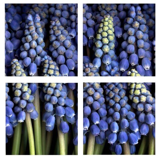 Trademark Fine Art Grape Hyacinth by Aiana 4 Piece Photographic Print on Canvas Set