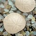 Alan Blaustein Sea Glass with Sand Dollars 1 Photographic Print on Canvas