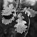 David & David Studio 'Oak Leaf 2' by Philippe David Framed Photographic Print