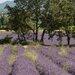 David & David Studio 'Lavender Fields 1' by Laurence David Framed Photographic Print