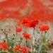 Pro-Art Glasbild Red Flowers, Kunstdruck