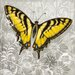 "DEInternationalGraphics ""Yellow Butterfly III"" von Alan Hopfensperger, Grafikdruck"