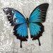 """DEInternationalGraphics """"Blue Butterfly II"""" von Alan Hopfensperger, Kunstdruck"""