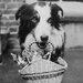 """DEInternationalGraphics """"A Dog Collie with Kittens"""" von Anonym, Kunstdruck"""
