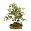 Distinctive Designs Silk Japanese Bonsai Tree Desk Top Plant in Tray