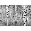 WallPops! Komar Birch Forest Wall Mural