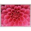 Wildon Home ® 'Hot Pink Dahlia Flower' by John McAnulty Framed Photographic Print