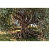 Komar Olive Tree 2.54m L x 368cm W Roll Wallpaper