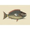 Buyenlarge 'Parrot Fish' by Catesby Catesby Painting Print