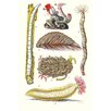 Buyenlarge 'Ship Worm, Sea Mouse and Sea Cucumber' by James Sowerby Graphic Art