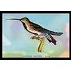Buyenlarge 'Hummingbird Trochilus Gramineus Young' by Sir William Jardine Framed Painting Print