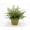 Distinctive Designs Maiden Hair and Asparagus Fern Desk Top Plant in Pot