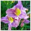 Trademark Fine Art 'Lavender Day 'Lily' by Kathie McCurdy Photographic Print on Canvas