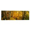 iCanvas Panoramic Aspen Trees in a Forest, Californian Sierra Nevada, California, USA Photographic Print on Canvas
