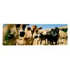iCanvas Panoramic Close Up of Cows, California Photographic Print on Canvas