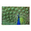 iCanvas Peacock Feathers Graphic Art on Canvas