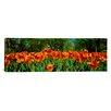 iCanvas Panoramic Tulip Flowers in a Garden, Sherwood Gardens, Baltimore, Maryland Photographic Print on Canvas