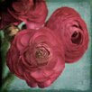 Marmont Hill Ranunculus' Photographic Print Wrapped on Canvas