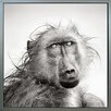 Benjamin Parker Galleries Wet Baboon by Johan Swanopoel Framed Photographic Print on Wrapped Canvas