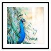 Gallery Direct The Show Off Peacock Framed Photographic Print