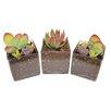 ShopSucculents 3 Piece Echeveria Agavoides Succulent Plant in Terrarium Set