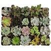 ShopSucculents 20 Piece Beautiful Succulents Plant in Pot Set