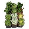 ShopSucculents 64 Pack Desk Top Plant in Pot