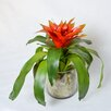 TC Floral Company Bromeliad in Glass Jar with Cream Moss
