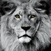 """Empire Art Direct """"King of the Jungle Lion"""" Frameless Free Floating Tempered Glass Panel Graphic Art"""