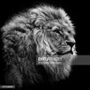 GettyImagesGallery Lion on Black Background, Fotodruck von Christian Meermann