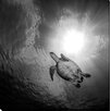 """Picture Perfect International """"Turtle Turtle"""" by Craig Dietrich Photographic Print on Wrapped Canvas"""