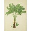 """Magnolia Box Gerahmtes Poster """"Strelitzia Augusta"""" von Franz Bauer, Grafikdruck"""