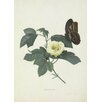 Magnolia Box Gossypium by Georg Dionysius Ehret Framed Graphic Art