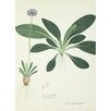 "Magnolia Box Gerahmtes Poster ""Primula Denticulata"" von Nathaniel Wallich, Grafikdruck"
