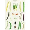 Magnolia Box Beans - Runner, Tall Kidney, or Pole by Ernst Benary Graphic Art