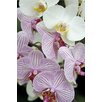 Magnolia Box Orchid Festival - Phalaenopsis Hybrids by Andrew McRobb Photographic Print