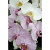 Magnolia Box Poster Orchid Festival - Phalaenopsis Hybrids, Fotodruck von Andrew McRobb