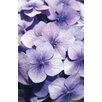 Magnolia Box Hydrangea Macrophylla. La Marne by Andrew McRobb Photographic Print on Canvas