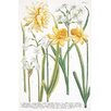 Magnolia Box Illustrations of Various Narcissi by Johann Wilhelm Weinmann Framed Art Print