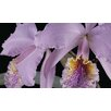 Magnolia Box Cattleya Labiata Var Mossiae by Andrew McRobb Photographic Print on Canvas