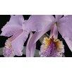 Magnolia Box Leinwandbild Cattleya Labiata Var Mossiae, Fotodruck von Andrew McRobb