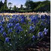 Magnolia Box Leinwandbild Above the Blue Irises Kunstdruck von Timothy Easton