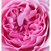 Magnolia Box Close Up of the Rose Flower of the David Austin Rose Miranda by Clive Nichols Photographic Print on Canvas
