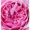 "Magnolia Box Leinwandbild ""Close Up of the Rose Flower of the David Austin Rose Miranda"" von Clive Nichols, Fotodruck"