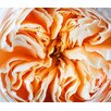 Magnolia Box Close up of the Flower of the David Austin Rose Rose Juliet -  English Cut Rose by Clive Nichols Photographic Print on Canvas