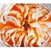 "Magnolia Box Leinwandbild ""Close up of the Flower of the David Austin Rose Rose Juliet - English Cut Rose"" von Clive Nichols, Fotodruck"