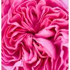Magnolia Box Ragley Hall Garden, Warwickshire: Close Up of the Pink Rose - Rosa 'Gertrude Jekyll' by Clive Nichols Photographic Print