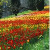 Magnolia Box Colourful Drifts of Red, Yellow And Pink Tulips in The Gardens of Mainau, Lake Constance by Clive Nichols Photographic Print on Canvas