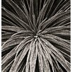 Magnolia Box Black and White Close Up Toned Image of Echium Wilpretii by Clive Nichols Photographic Print