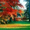 Magnolia Box Japanese Maple Tree In Autumn Foliage, Westonbirt Arboretum, Gloucestershire by Clive Nichols Photographic Print on Canvas